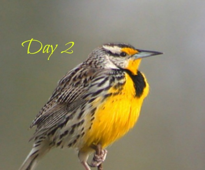 Meadowlark (2)